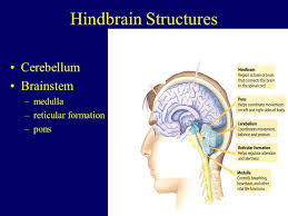 What Portion Of The Brain Controls Respiration The Brain The Developing Brain Parts Of The Brain U0026 Their Function