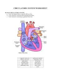 1 circulatory system worksheet