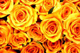 Flowers Colors Meanings - gorgeous roses the meaning of rose colors 35 pics