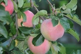 Best Fruit Tree For Backyard Conclusion How Best To Grow Backyard Apples U0026 Pears Yakima
