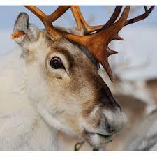 reindeers u0027 eyes change colour arctic seasons