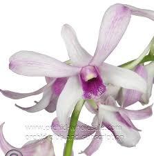 White Dendrobium Orchids Wholesale Fresh Cut Dendrobium Orchids U0026 Flower Subscription