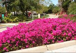 Bougainvillea Topiary - the 13 most beautiful gardens in chandigarh