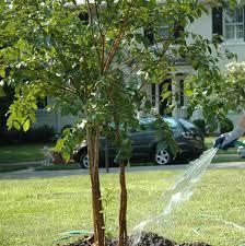 tree watering tips for summer 2014 fannin tree farm