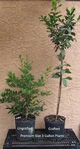 hamlin orange tree just fruits and exotics