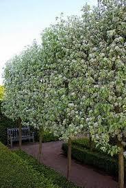 25 trending snow pear ideas on ornamental pear tree