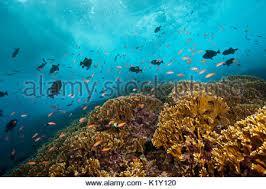 shoal of redfin anthias pseudanthias dispar christmas island