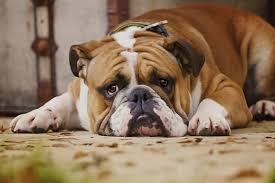 boxer dog in heaven how to tell if your dog is in pain and what to do to help dogtime