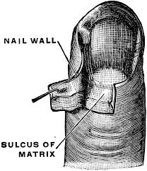 finger nail cliparts clip art library