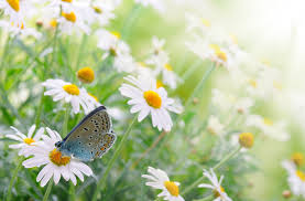 flower time daisies spring flowers butterfly daisy wallpapers hd