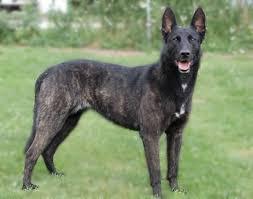 training a belgian sheepdog training your dutch shepherd to listen to you why won u0027t my dutch