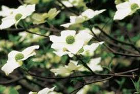 white flowering dogwood how to care for white flowering dogwood home guides sf gate