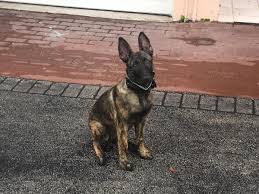 belgian malinois for sale 16 week old belgian malinois dutch sheperd for sale bred to work