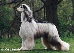 afghan hound rescue england zardin u2014the first afghan hound to arrive in england i had never