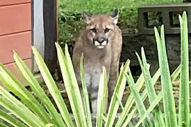 dead deer in esquimalt said to be killed by cougar victoria news