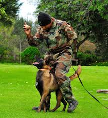 belgian malinois for sale belgian malinois green dogs for sale 786 206 9330 youtube