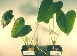 High Heat Plants Bacterial Blight Of Anthuriums Hawaii U0027s Experience With A Global