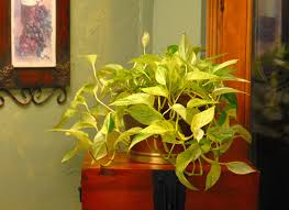 garden perfect houseplant for your home with golden pothos