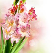 gladiolus flowers gladiolus flowers stock photo image 20593020