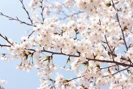 prunus x yedoensis yoshino cherry tree