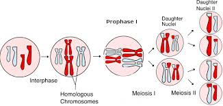 cell division mitosis and meiosis biology 1510 biological
