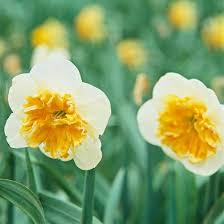 Ideas For Daffodil Varieties Design 12 Beautiful Bulbs Deer And Rabbits Don U0027t Eat