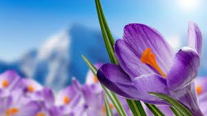wallpaper purple crocuses purple flowers spring 4k flowers 995