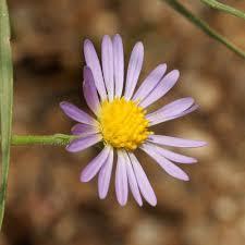 Purple And Blue Flowers Purple And Blue Flowers U2013 Southeastern Arizona Wildflowers And Plants