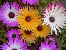 46 best annuals in the landscape images on pinterest flowers