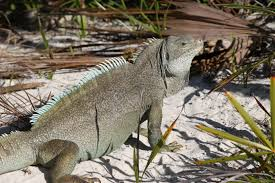 iguana island mike pollard nature in the middle of england and sometimes far
