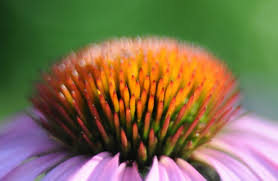 Echinacea Flower Echinacea Flower Bud Close Up Free Stock Photos In Jpg Format For