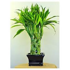 indoor green ornamental plants braided lucky bamboo plant