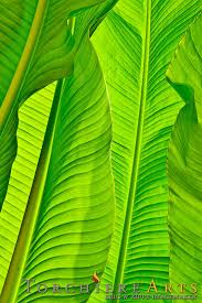Tropical Decor Banana Leaves Photography Tropical Photo Tropical Decor