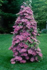 Purple Flower On A Vine - best 25 clematis trellis ideas on pinterest clematis climbing