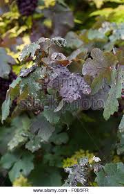 vitis vinifera purpurea with grapes stock photos vitis vinifera