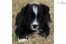 australian shepherd black australian shepherd puppy for sale near lawton oklahoma