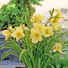 Reblooming Daylilies Hemerocallis Fragrant Returns Reblooming White Flower Farm