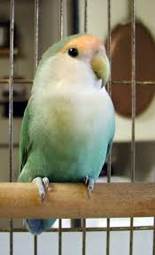 45 best lovebirds images on pinterest animals beautiful birds