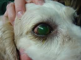 corneal ulcers in animals wikipedia