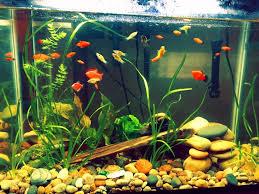 Aquascape Freshwater Aquarium First Driftwood And Aquascaping U2013 Freshwater Aquarium Plants Chicago
