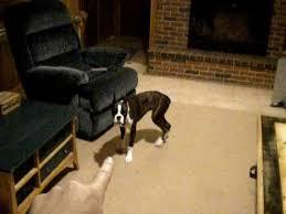 boxer dog training tips 6 month old boxer dog trained youtube