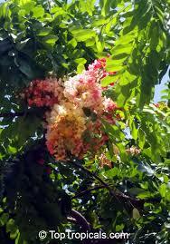 cassia javanica apple blossom tree apple blossom shower