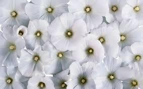 white flower white flower wallpaper free 19722 wallpaper computer best