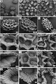 sem microphotographs showing types of ornamentation of antirrhinum