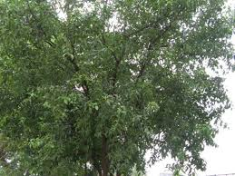 sandalwood tree chandan tree gardening indian trees