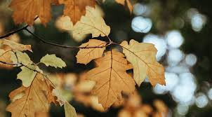 maple tree symbolism oak tree symbolism information and planting instructions