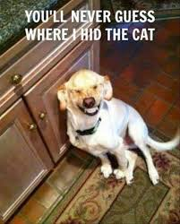 Cat And Dog Memes - guess where i hid the cat what breed is it