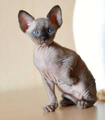 cat sphynx with hair dog and cat