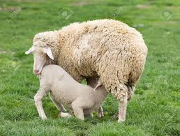 lambs stock photos u0026 pictures royalty free lambs