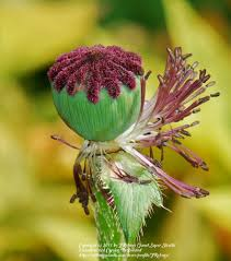 photo of the seed pods or heads of oriental poppy papaver
